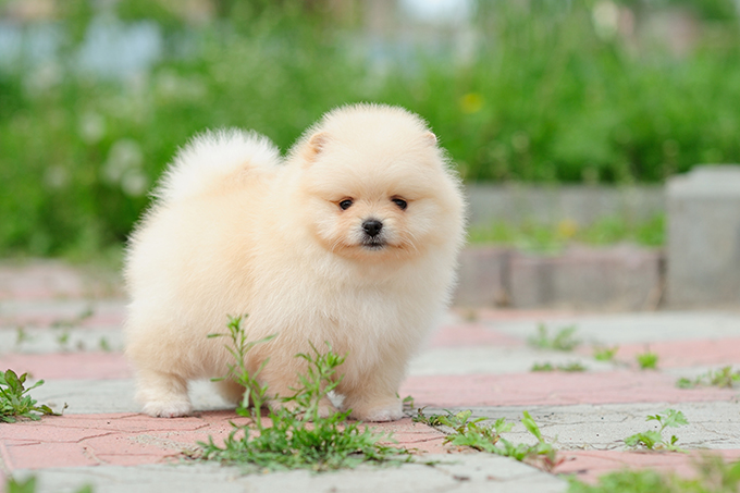 1e16b7d9ec34 Pomeranian Puppies: Facts And Adorable Pictures - Dogtime