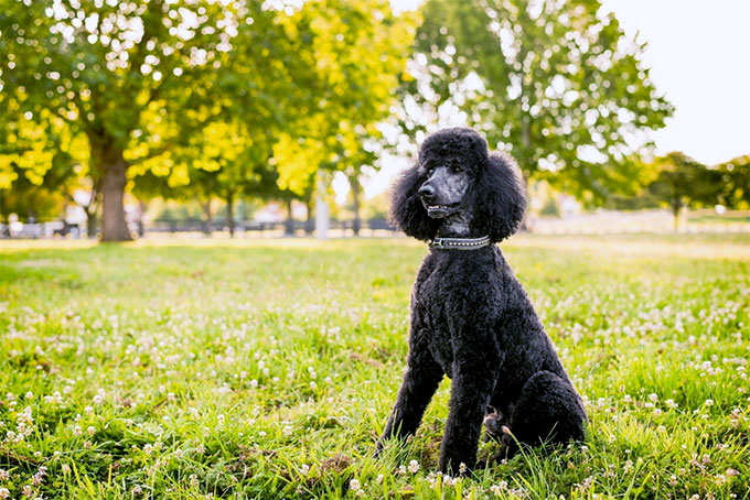 Black Poodle Dog