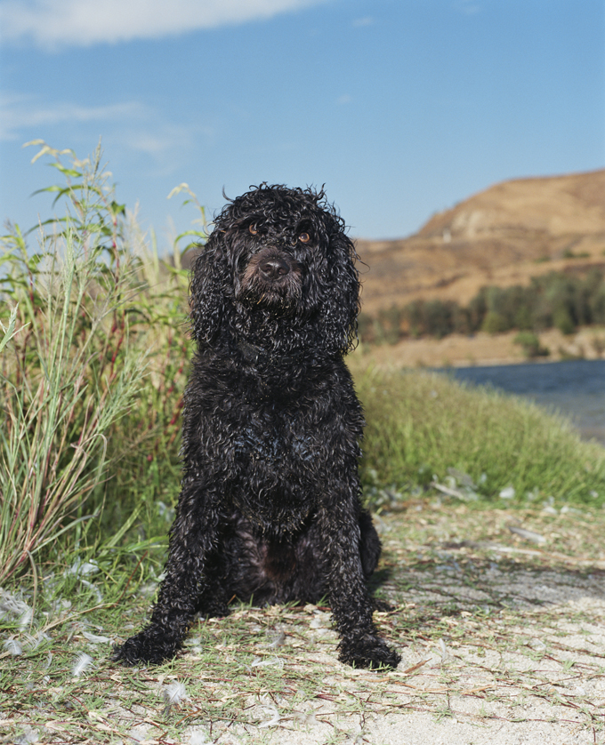 Portuguese Water Dogs And Puppies