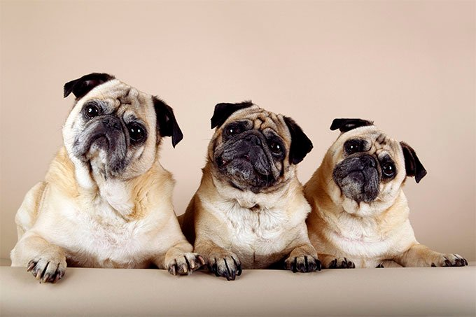 Pug Dog Breed Information, Pictures, Characteristics & Facts