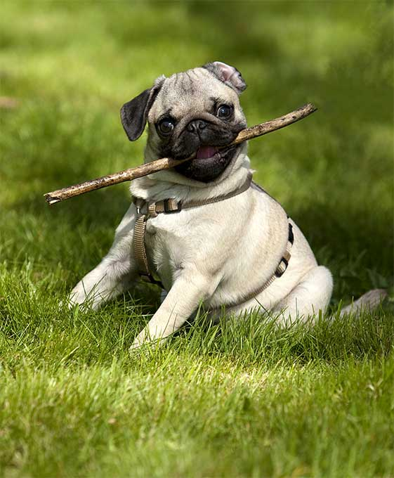 Pug Dog Breed Information Pictures Characteristics Facts Dogtime
