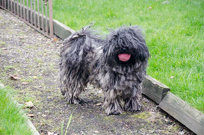 Puli Dog Breed Picture