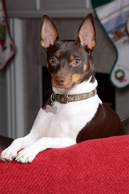 Rat Terrier Dog Breed Information Pictures Characteristics Facts
