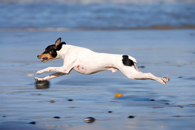 Rat Terrier Dog Breed Information, Pictures, Characteristics & Facts ...