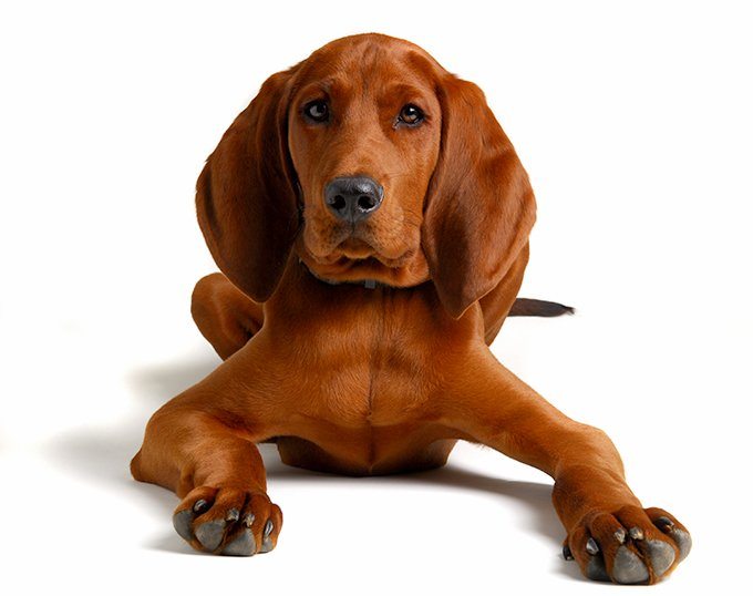 Redbone Coonhound Dog Breed Picture