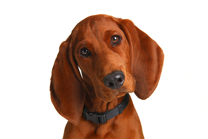 Redbone Coonhound Dog Breed Information Pictures Characteristics