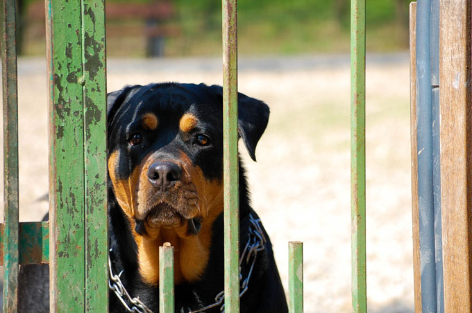 Rottweiler Dog Breed Information Pictures Characteristics Facts