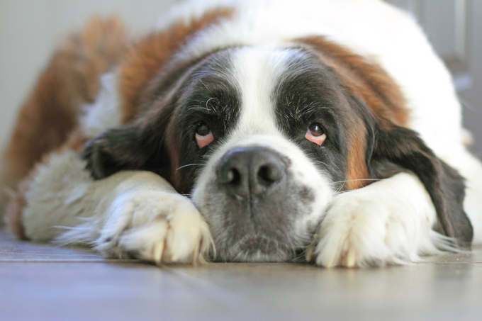 crushed dreams of having a saint bernard pup Find saint bernard breeders & puppies for sale in or around alaska : home dog we raise long hair saint bernards our puppies come with full akc registration and will be up to this is not necessarily the case a new baby does not mean you have to abandon your dog doggiescom home.