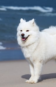 Samoyed dog breed information pictures characteristics facts samoyed dogs and puppies voltagebd Image collections