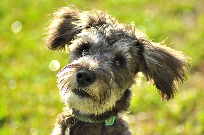 Giant schnauzer crossed with poodle