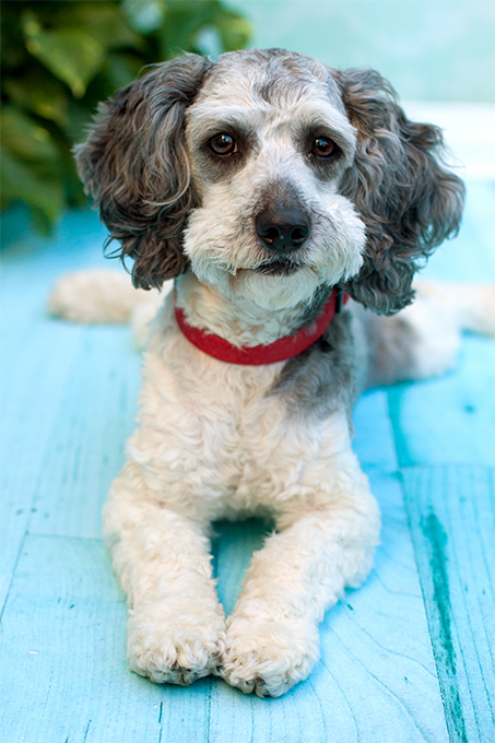 Schnoodle Dog Breed Information, Pictures, Characteristics & Facts ...