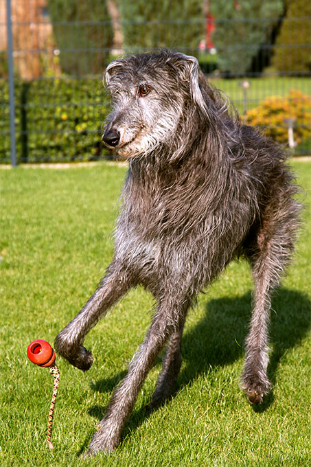 Scottish Deerhound Dog Breed Picture