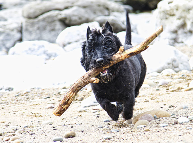 Scottish Terrier Dog Breed Information Pictures Characteristics