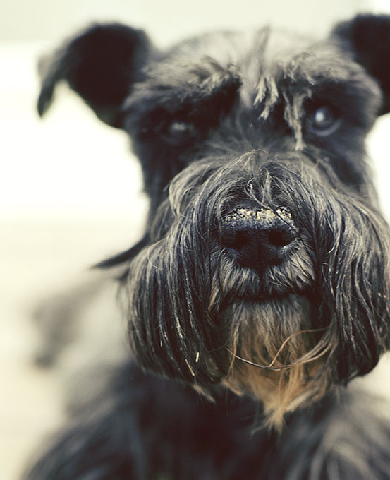 Scottish Terrier Dog Breed Picture