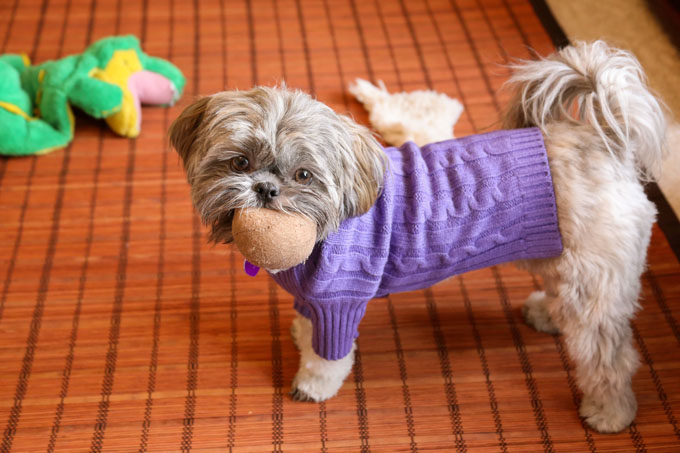 shih tzu dogs breeds shih tzu dog breed information pictures characteristics 3121