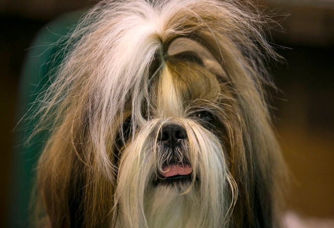 Shih Tzu Dog Breed Pictures