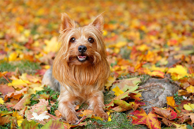 Silky Terrier Dog Breed Information, Pictures