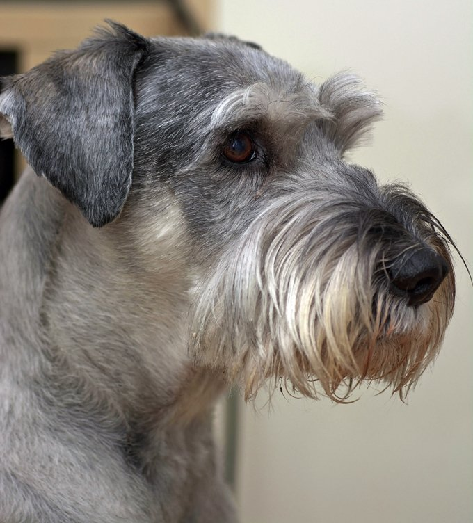 Standard Schnauzer Dog Breed Information Pictures Characteristics