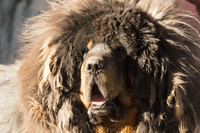 Tibetan Mastiff Dog Breed Information Pictures Characteristics Amp Facts Dogtime
