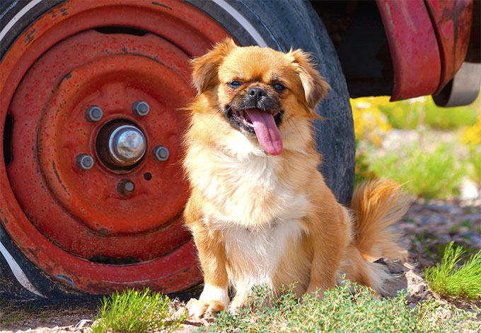 Tibetan Spaniel Dog Breed Picture
