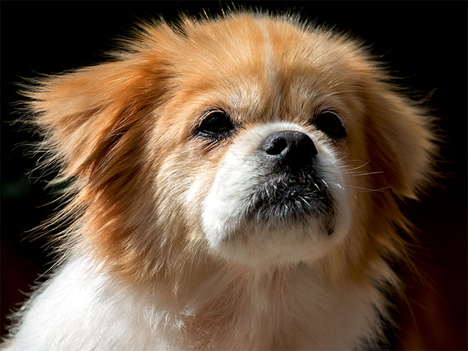 Tibetan Spaniel Dog Breed Information Pictures