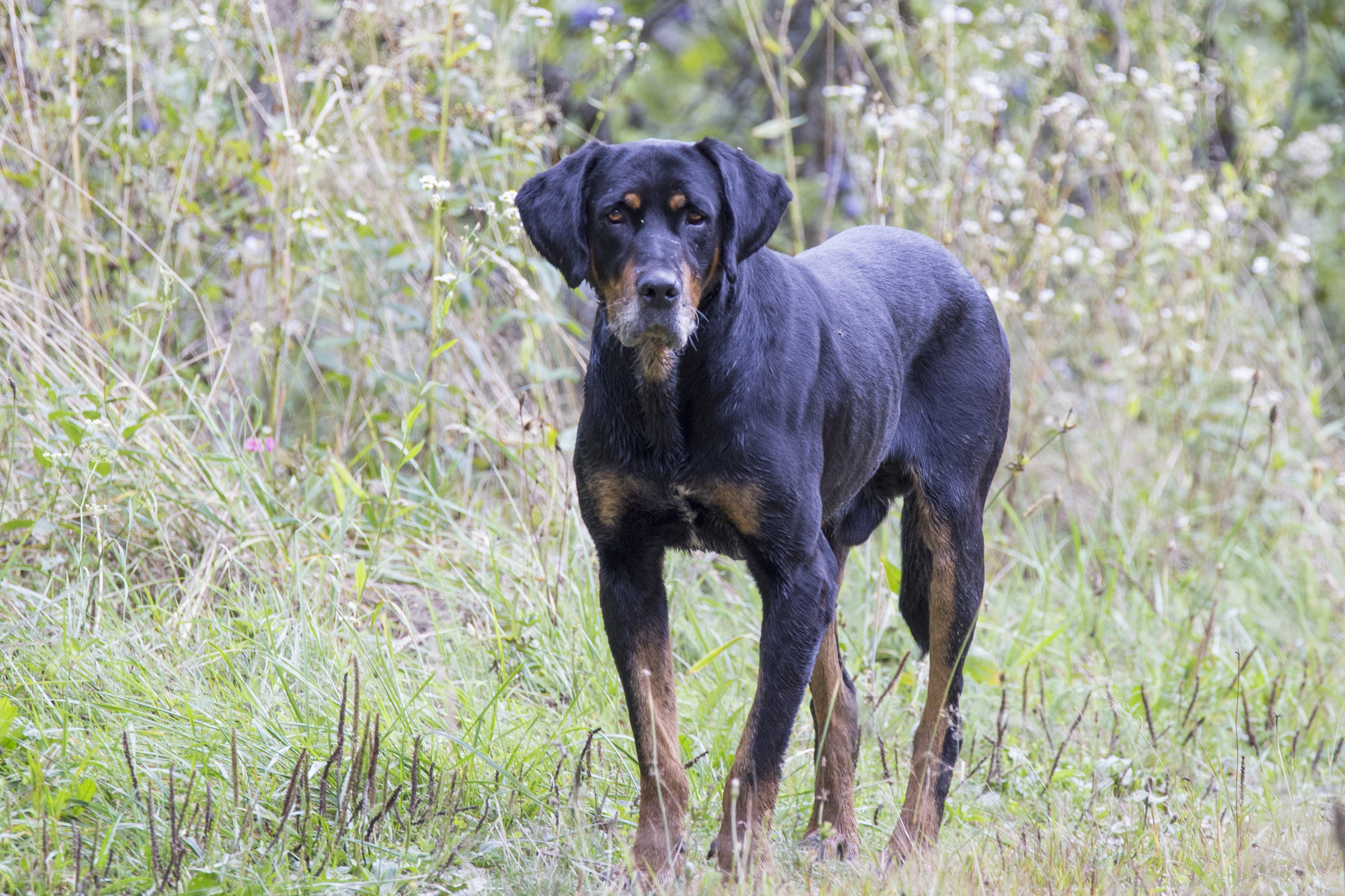 Transylvanian Hound Dog Breed Pictures