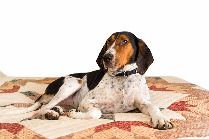 See below for complete treeing walker coonhound characteristics