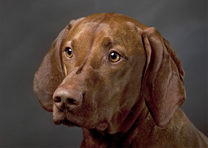vizsla dog breed information pictures characteristics facts