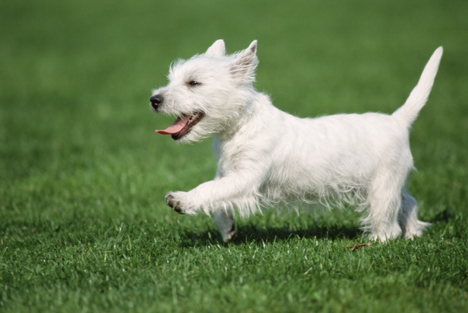 West Highland White Terrier Dog Breed Information, Pictures ...
