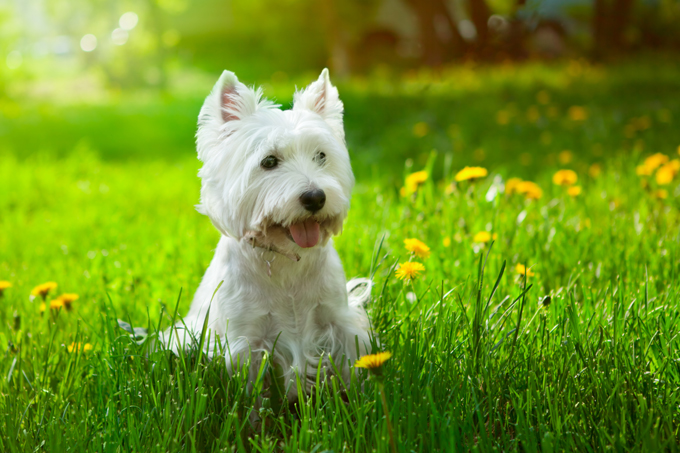 West Highland White Terrier Dogs And Puppies