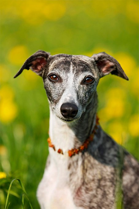 Whippet Dog Breed Picture