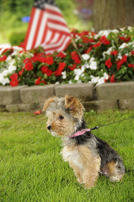 Yorkipoo Dog Breed Picture
